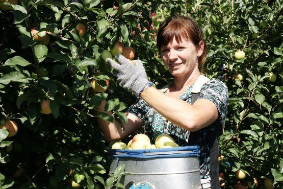 В период сезонных работ в саду СПК «Колос» в уборке урожая принимает участие Светлана Мордик