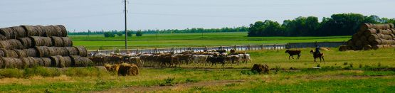 В летнее время кубанские буренки совершают моцион на зеленом пастбище