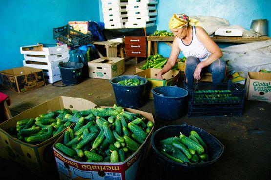 После сбора и сортировки огурцов  работники теплицы аккуратно укладывают овощи в коробки для отправки в торговые точки