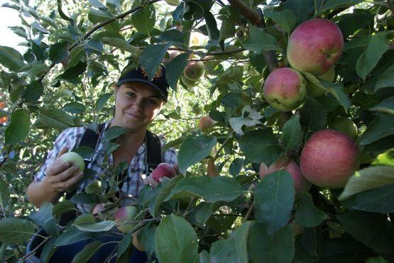 Новопокровчанка Евгения Демидова в разгар яблочного сезона работает в саду кооператива. Кроме того, она многодетная мама, воспитывающая пятерых детей