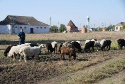 Хуторянин Андрей Арутюнов ежедневно выпасает стада овец и баранов