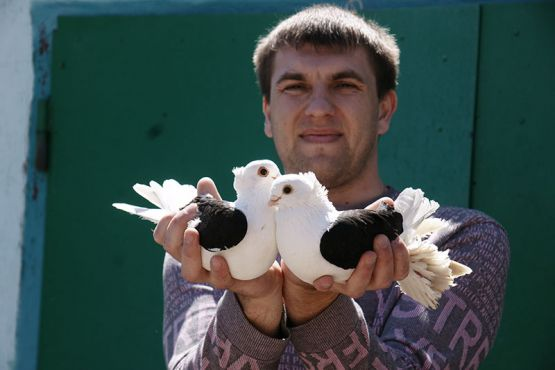 Каждая порода красива по-своему.  Эти голуби выделяются черными контрастными крыльями