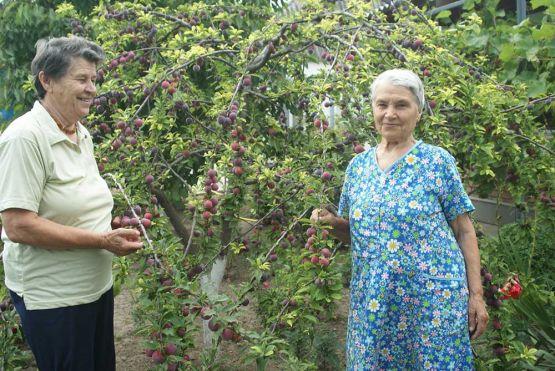 Богатый урожай алычи вырастили в своем саду дружные сестры