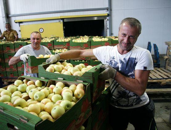 На погрузке и разгрузке коробок с яблоками в дружном семейном тандеме работают отец и сын Сергей и Максим Горишние