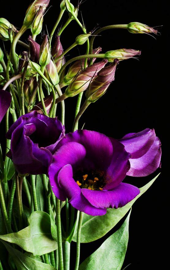 Eustoma grandiflorum purple 02.jpg