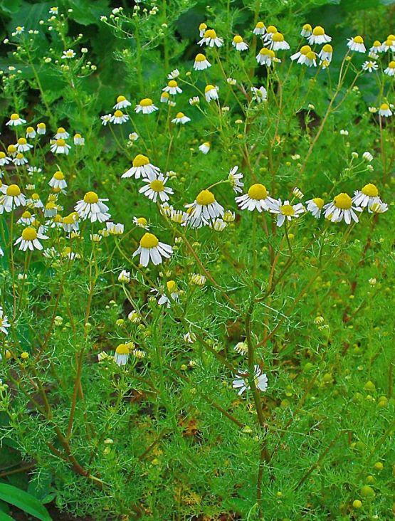 Общий вид группы цветущих растений. Ботанический сад в Карлсруэ[de], Германия